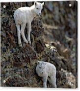 Usa, Alaska, Dall Sheep, Dall Lamb Acrylic Print