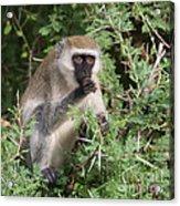 Vervet Monkey Acrylic Print