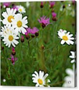 View Of Daisy Flowers In Meadow Acrylic Print