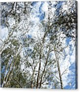 View Of Towering Trees Acrylic Print