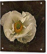 Vintage White Poppy Acrylic Print