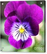 Viola Named Sorbet Plum Velvet Jump-up Acrylic Print