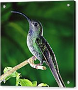 Violet Sabre-wing Hummingbird Acrylic Print by Michael and Patricia Fogden