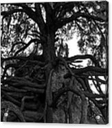 Walking Oak Acrylic Print
