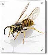 Wasp Isolated  Acrylic Print