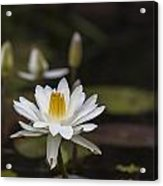Water Lilly 6 Acrylic Print by Charles Warren