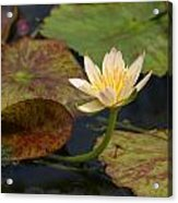 Water Lily 25 Acrylic Print