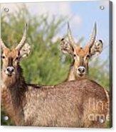 Waterbuck Bull Brothers Acrylic Print