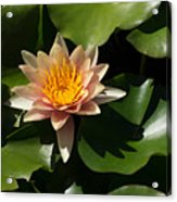 Exotic Colors - A Soft Coral Waterlily Acrylic Print
