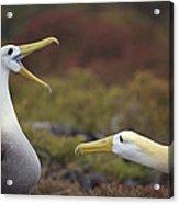 Waved Albatross Courtship Display Acrylic Print by Tui De Roy
