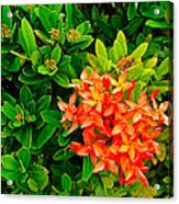 West Indian Jasmine In Sukhothai Historical Park-thailand Acrylic Print