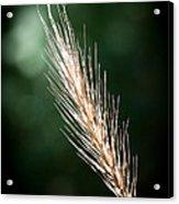 Wheat Grass Acrylic Print