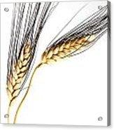 Wheat On White Acrylic Print