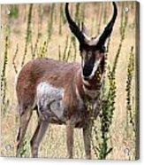 Where The Antelope Play Acrylic Print