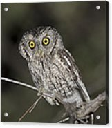 Whiskered Screech Owl Acrylic Print