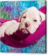 White Boxer Dog Puppy Acrylic Print by Doreen Zorn