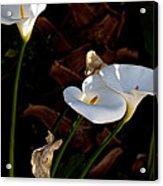 White Calla Lilies Acrylic Print