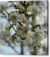 White Cherry Blossoms Acrylic Print
