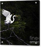 White Egret's Takeoff Acrylic Print