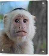 White Face Monkey  Acrylic Print