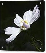 White Flower In Bloom Acrylic Print