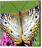 White Peacock Butterfly Anartia Acrylic Print