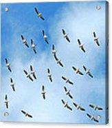 White Pelican Sky Acrylic Print