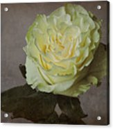 White Rose With Old Paper Texture Acrylic Print