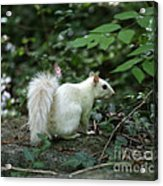 White Squirrel Acrylic Print