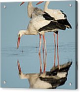 White Storks Ciconia Ciconia In A Lake Acrylic Print