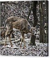 White-tail Deer Acrylic Print