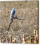 White Tailed Kite Acrylic Print