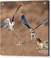 White-tailed Kite Siblings Acrylic Print