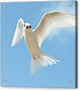 White Tern (gygis Alba Rothschildi Acrylic Print