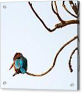 White-throated Kingfisher Acrylic Print