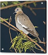 White-winged Dove Acrylic Print