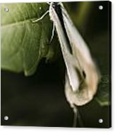 White Winged Moth Insect On A Green Tree Leaf Acrylic Print