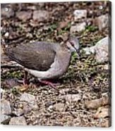 Whitetipped Dove Acrylic Print