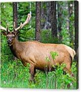Wild Bull Elk Acrylic Print