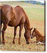 Wild Horse Mother And Foal Acrylic Print