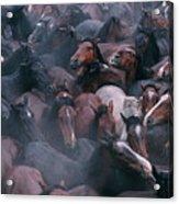 Wild Horses In A Pen Acrylic Print