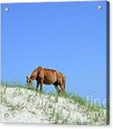 Wild Horses Of Corolla Acrylic Print