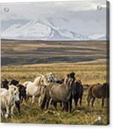 Wild Icelandic Horses Acrylic Print