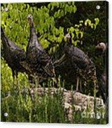 Wild Turkey Meleagris Gallopavo Acrylic Print