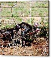 Wild Turkeys Acrylic Print by Thea Wolff