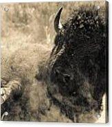 Wild West Bison Acrylic Print