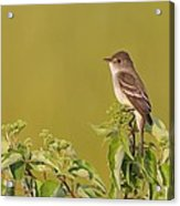 Willow Flycatcher Acrylic Print