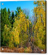Willow Will Acrylic Print