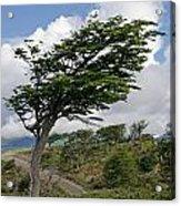 Wind-bent Tree In Tierra Del Fuego Acrylic Print