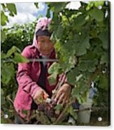 Wine Grape Harvest Acrylic Print